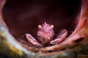 Shrimp portrait by Kelvin H.y. Tan